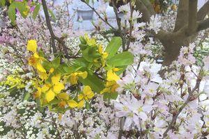 Rực rỡ sắc hoa Anh Đào - Mai vàng Yên Tử 2019
