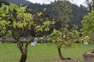 Mai vàng bị 'bỏ rơi' ở lễ hội hoa Yên Tử