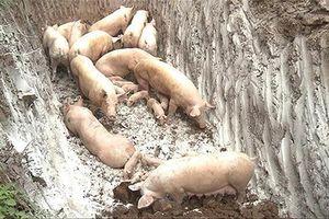 12 tỉnh thành đã công bố dịch tả lợn châu Phi
