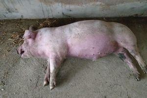 Bắc Kạn xuất hiện dịch tả lợn châu Phi