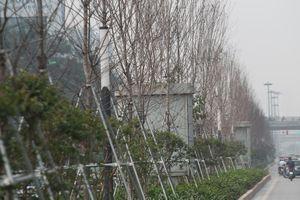Cận cảnh hàng phong lá đỏ như chết khô khiến Chủ tịch Hà Nội lên tiếng