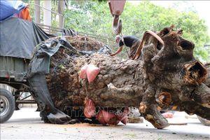 Bắt giữ vụ vận chuyển cây xoài rừng trên 100 năm tuổi