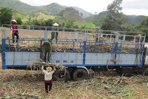 Phú Yên: Nông dân chịu thiệt vì nhà máy 'rào' giá thu mua mía vùng nguyên liệu