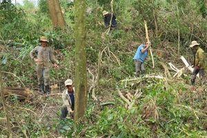 Phú Yên: Đổ xô khai thác keo non trồng sắn