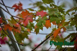 Cận cảnh hàng cây phong xanh tốt trên đường phố Hà Nội
