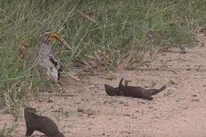 Hài hước cảnh cầy Mongoose giả vờ chết trước mặt chim