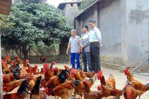 Thái Nguyên: Nuôi gà '3 chung', nông dân hết lo 'đánh bạc', thu trăm triệu