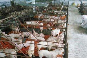 Giá heo hơi hôm nay 13/3: Tiếp tục gảm trên cả nước do lo sợ dịch tả lợn châu Phi