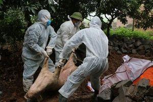 Dịch tả lợn Châu Phi lây lan tại 16 tỉnh, bao nhiêu lợn đã tiêu hủy?