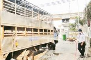Chủ động phòng, chống dịch tả lợn châu Phi
