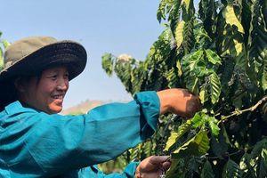 Đăk Hà 'đổi đời' nhờ cà phê, dược liệu