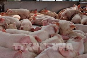 Long An ngăn dịch tả lợn châu Phi vùng giáp ranh biên giới