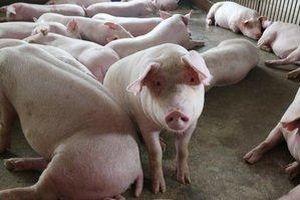 Giá heo (lợn) hơi hôm nay 14/3: Giảm mạnh vì dịch ASF, chỉ còn 38.000 đồng/kg
