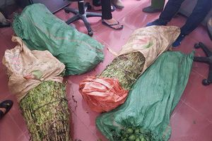 4 thanh niên cùng nhau trồng một nương thuốc phiện ở Lào Cai