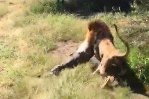 Sư tử tấn công, kéo lê chủ công viên vào bụi rậm
