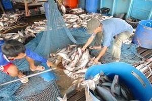 Giá cá tra bất ngờ 'lao dốc'