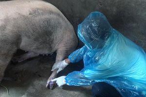 Phú Yên: Xuất hiện 3 ổ lợn bị lở mồm long móng