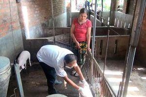 Phú Yên: Xuất hiện 3 ổ heo mắc bệnh lở mồm long móng