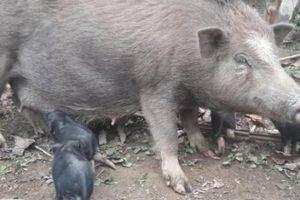 Nuôi lợn lưng còng chỉ ăn rau cỏ, không lo dịch bệnh lại bán chạy