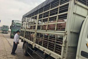 Tiếp tục phát hiện thêm ổ dịch tả lợn châu Phi tại Nghệ An