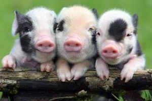 'Nóng' tình trạng nhập lậu lợn cảnh mini