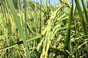 Nông dân Thái-lan thích trồng giống lúa của Việt Nam