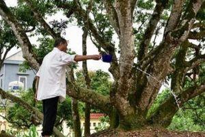 Bí ẩn cụ cây vải tổ 200 năm được lập kỷ lục lâu đời nhất đất Việt