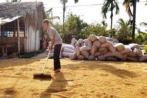 Giá lúa không tăng, phải chăng 'nhờn thuốc'(?)