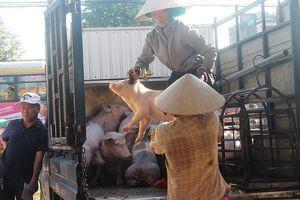 Quảng Nam lập 2 chốt phòng chống dịch tả lợn châu Phi