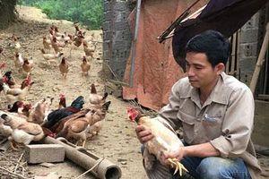 Hòa Bình: Trở về từ Hàn Quốc, 8X thả bạt ngàn gà trên đồi, bỏ túi 170 triệu đồng