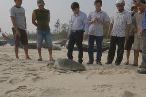 Quảng Trị: Thả cá thể rùa biển 30 kg về môi trường tự nhiên