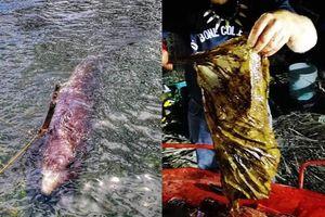 Cá voi nôn ra máu và sự thật kinh hoàng