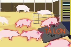 Tả lợn châu Phi: Cuộc chiến hơn 100 năm với dịch bệnh không thuốc chữa