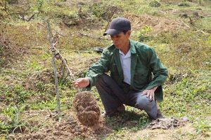 Vụ vườn bưởi da xanh bị phá hoại tại Thừa Thiên Huế: Chuyển hồ sơ cho Công an hình sự tiếp tục điều tra