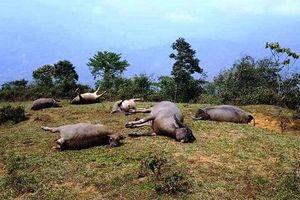 Dông, sét làm chết người và vật nuôi ở Lào Cai