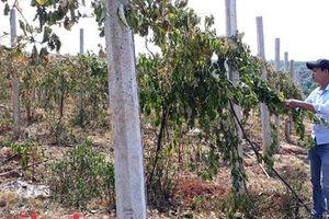Vườn chanh dây tiền tỉ gần thu hoạch bị phá hoại tàn độc