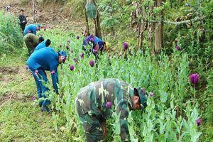Đồn Biên phòng Xuân Trường phát hiện, tiêu hủy 526 cây thuốc phiện
