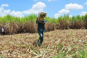 Giá mía rớt thê thảm, người trồng mía ở ĐBSCL khóc ròng