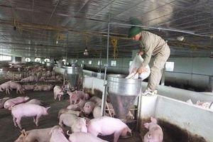 Hà Tĩnh: Đi trước một bước trong cuộc chiến chống dịch tả lợn châu Phi