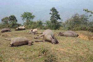 Dân than khóc vì 6 con trâu thả trên đồi bị sét đánh chết ở Lào Cai