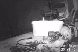 Kỳ lạ chú chuột dọn dẹp bàn làm việc cho 'ông chủ' như trong chuyện cổ tích