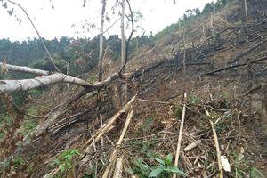 Điều tra vụ phó chủ tịch xã chặt phá 2,5 ha rừng
