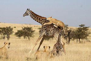 Ảnh động vật: Sư tử hạ gục hươu cao cổ, sóc chuột kiếm ăn trong công viên