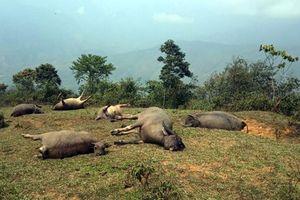 Lào Cai: Cả đàn trâu bị sét đánh chết trong cơn giông
