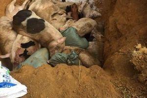 Quảng Nam: Vừa tiêu hủy 151 con heo mắc bệnh lở mồm long móng