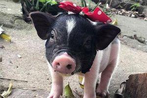 'Sốt' thú chơi lợn cảnh, Bộ Nông nghiệp ra văn bản tăng cường kiểm soát