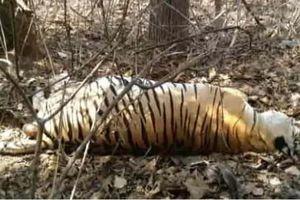 Hổ 12 tuổi bị hổ 8 tuổi ăn thịt trong khu bảo tồn ở Ấn Độ