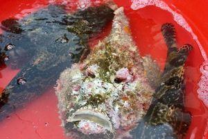 Lý Sơn: Xuất hiện cá mặt quỷ 'khủng' hiếm, giá cao gấp 3 lần bình thường