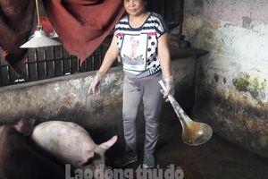 Nghịch lý lợn càng to càng khó xuất chuồng