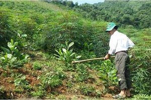 Phú Thọ: Trồng rừng bằng giống mới, phương pháp mới, hiệu quả kinh tế cao